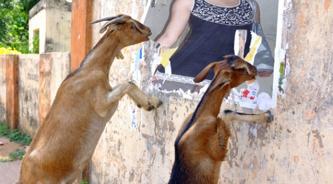 Put your photo near goats to eat